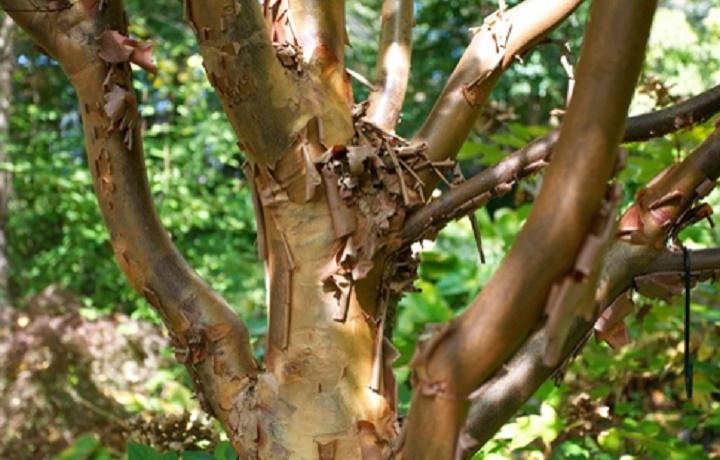 Árvore rara é descoberta  em área da Fibria no Vale